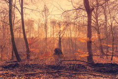 Rising sun in the forest. With sunbeams in the mist Royalty Free Stock Photos
