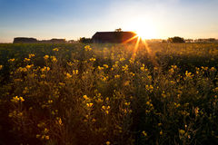 Rising sun over rapeseed field Royalty Free Stock Photography