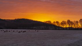 Awakening lambs on the frosty pasture. Frozen in time stock photos