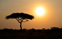 Rising Sun shinning with single Acacia tree Stock Photo