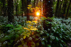 Rising sun in spring forest Royalty Free Stock Images