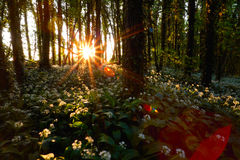 Rising sun in spring forest Stock Photography