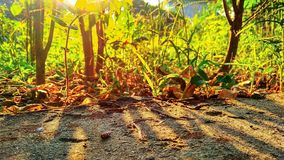 Rising sun and trees. Rising sun , golden view of plants royalty free stock image