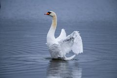 Rising Swan on rippled Lake royalty free stock photography