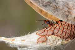 Rising. From under the shell of a milkweed pod, an orange and black bug rises up to look and over the milkweed seeds royalty free stock image