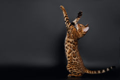 Rising up Paws  Playful Bengal Cat Stock Photos