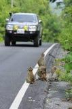 Risk monkey life at roadside Royalty Free Stock Images