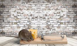 Risk. Mousetrap Mouse Humor Danger Animal Intelligence Royalty Free Stock Images