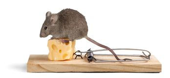 Risk. Mousetrap Mouse Humor Danger Animal Intelligence Stock Photography