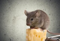 Risk Mousetrap Stock Image