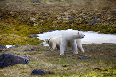 Polar Bears on Franz-Joseph Land. Female with cub. Risk of photographer. Female polar bear is coming to photographer and looks back at her cub, checking: where Royalty Free Stock Photos