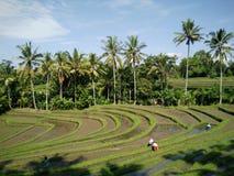 Rislantgård bali indonesia Arkivbild