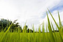 Rislantgårdfält på himmelbackdround Royaltyfri Fotografi