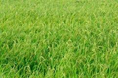 riso Immagini Stock
