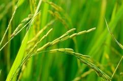 riso Fotografia Stock Libera da Diritti
