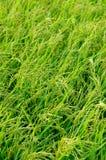 riso Fotografie Stock