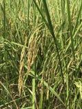 riso Fotografie Stock Libere da Diritti