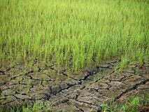 riso Immagini Stock Libere da Diritti