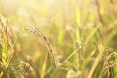 Riso archivato dorato nell'alba e nella luce fotografia stock libera da diritti