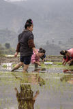 Riso asiatico degli agricoltori della ragazza che pianta lavoro, piantina di trapianto Fotografia Stock Libera da Diritti
