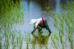 Riso asiatico dell'azienda agricola degli agricoltori in Tailandia Fotografia Stock Libera da Diritti