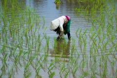 Riso asiatico dell'azienda agricola degli agricoltori in Tailandia Fotografie Stock