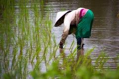 Riso asiatico dell'azienda agricola degli agricoltori in Tailandia Immagine Stock