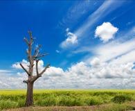 Riso blu della nuvola dell'albero nudo Immagini Stock