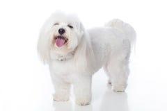 Riso branco do cão Fotos de Stock