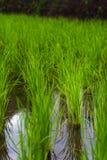 Riso che coltiva agricoltura della piantagione Fotografia Stock Libera da Diritti