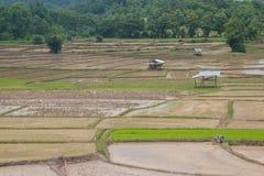 Riso che coltiva fuori stagione in Tailandia Immagini Stock Libere da Diritti