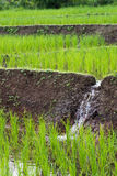Riso che coltiva il canale flodding di agricoltura Fotografia Stock Libera da Diritti