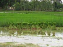 Riso che coltiva nella stagione delle pioggie Tailandia Immagine Stock Libera da Diritti