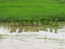 Riso che coltiva nella stagione delle pioggie Tailandia Fotografia Stock Libera da Diritti