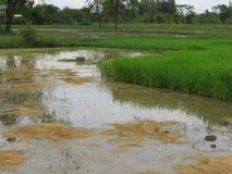 Riso che coltiva nella stagione delle pioggie Tailandia Fotografie Stock Libere da Diritti