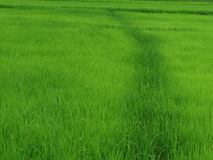 Riso che coltiva nella stagione delle pioggie Tailandia Fotografie Stock