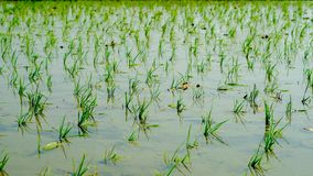 Riso che coltiva sull'agricoltura indiana Macro Fotografie Stock