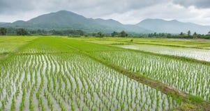 Riso che coltivare campo sulla pioggia del giorno Fotografia Stock Libera da Diritti