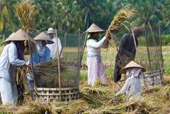 Riso che trebbia in Bali, Indonesia Fotografia Stock