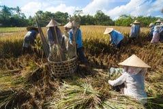 Riso che trebbia in Bali, Indonesia Fotografie Stock Libere da Diritti