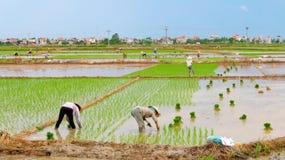 Riso coltivato agricoltori nel campo Fotografie Stock Libere da Diritti