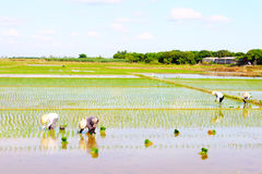 Riso coltivato agricoltori nel campo Fotografia Stock
