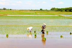 Riso coltivato agricoltori nel campo Fotografia Stock Libera da Diritti