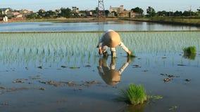 Riso coltivato agricoltori nel campo archivi video