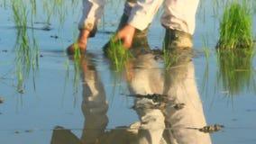 Riso coltivato agricoltori nel campo stock footage
