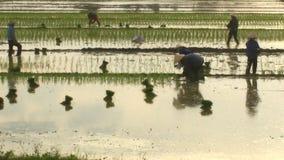 Riso coltivato agricoltori nel campo video d archivio
