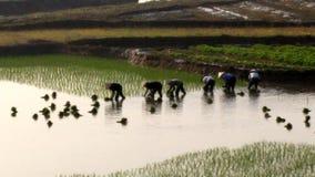 Riso coltivato agricoltori nel campo La coltivazione del riso è una tradizione lunga della gente nel Vietnam rurale stock footage