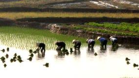 Riso coltivato agricoltori nel campo La coltivazione del riso è una tradizione lunga della gente nel Vietnam rurale archivi video