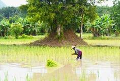 Riso crescente dell'agricoltore nel giacimento del riso, Tailandia Immagini Stock