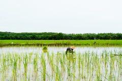 Riso crescente dell'agricoltore nel giacimento del riso, Tailandia Fotografie Stock
